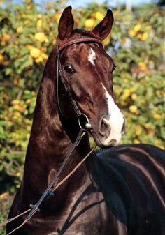 Donnerhall, 1981 Oldenburg stallion (Donnerwetter x Ninette)