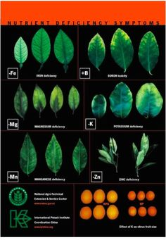 Leaf Illustrations and Charts to Help Diagnose Plant Nutrient Deficiencies   Big Picture Agriculture