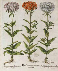 122630 Silene chalcedonica (L.) E.H.L.Krause [as Flos Constantinopolitanus miniatus] / Bessler, Basilius, Hortus Eystettensis, vol. 2: Nonus ordo collectarum plantarum aestivalium, t. 256, fig. I (1620) [B. Besler]