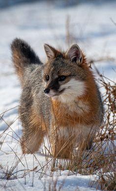 gray fox | animal + wildlife photography