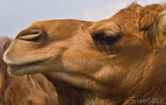 A camel is a large mammal with distinct humps on its back. Contrary to popular belief, a camel's hump does not store water; Mammals, Eyelashes, Scrap, Sunset, Artwork, Ceramics, Google Search, Random, Pictures