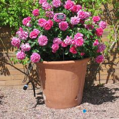 Gardening:Rose Garden Tips And Ideas Gardening Landscape Plans Garden Seating Planting Plan Climbing Rose Flower Yard Decor Small Backyard Landscaping Layout Design Ideas P Anne Pot Rose Garden Tips and Plans Ideas : How to Grow a Rose Garden in Pots and Other Flower Container