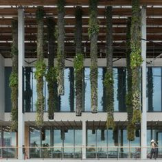 Patrick Blanc's vertical gardens at Herzog & de Meuron's Pérez Art Museum.  Clusters of columns covered with plants suspended from the building's large overhanging roof.