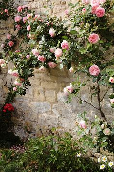 Climbing rose on rock wall From: 0285   Flickr - Photo Sharing!
