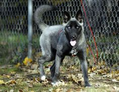 Picture of Sheba , a Belgian Malinois/Siberian Husky dog on Dogster