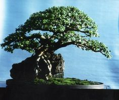 Root-over-rock (another of Jim Smith's bonsai above) is an excellent style for Portulacaria.