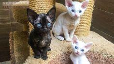 Питомник NEFERTEEhttp://abyssin.net - абиссинцы, девон рексы, египетская мау, чаузи и тойгеры - А какая порода кошек нравиться тебе? #nefertee #котята #кошки
