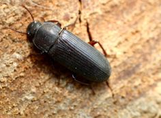 Here a long list types of beetles in the world. #beetles #typesofbeetles