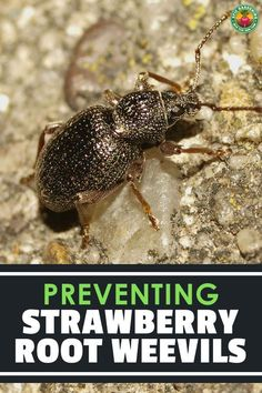 The strawberry root weevil munches on leaves, and the larvae devour berry roots. Our guide shares how to protect your berries from them! Strawberry Beds, Strawberry Plants, Garden Plants Vegetable, Garden Pests, Identify Plant, Crop Rotation, Plant Diseases, Plant Growth, Garden Tips