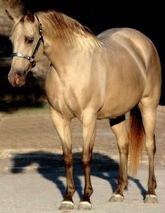 Champagne AQHA quarter horse mare Magic Slippers.