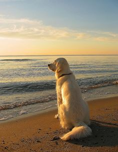 A Golden Retriever dog sitting on the beach, gazing out over the sea. Photo artwork by Ingrid Cute Dogs And Puppies, Baby Dogs, Pet Dogs, Dog Cat, Beagle Dog, Doggies, Christmas Photo, Dogs Golden Retriever, Retriever Dog