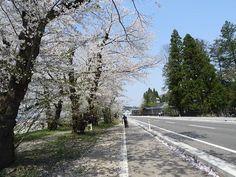 #角館 の #桜