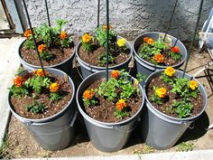 Plant marigolds around your entire vegetable garden to add bright color and keep the insect predators at bay.
