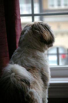 Shih Tzu guarding My dog does this!