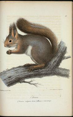 Ekorre. (Sciurus  vulgaris linn.) Hamme i vinterdrägt.