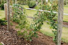 How to prune and train blackberries