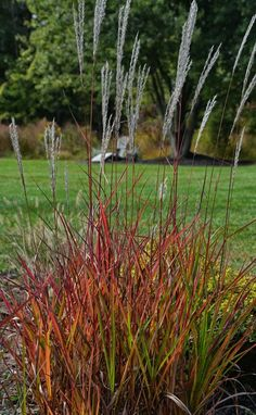 Miscanthus 'Purpurascens' - no wonder they call it Flame Grass! Great fall color. Photo: An Obsessive Neurotic Gardener