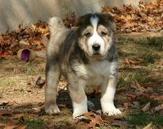 Alabai Dog, Pet Dogs, Dogs And Puppies, Pets, Caucasian Shepherd Dog, Baby Animals, Cute Animals, Every Dog Breed, Raining Cats And Dogs