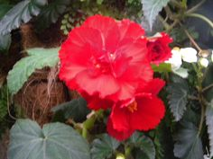November 3d and still blooming...my begonia.  Thank you for your warm morning welcome.