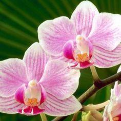 Orquídeas: Fotos