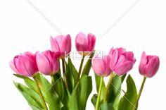 pink tulips - Image of tulips isolated on white background
