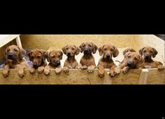 Nine Rhodesian Ridgeback puppies from a litter of 17 look out of their box in Nauen,