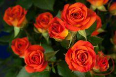 Spray Roses- Orange