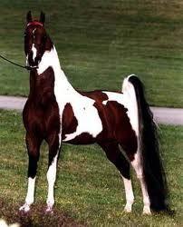 Monaco       american saddlebred