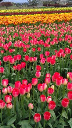 Tulips--my absolute FAVORITE flower!