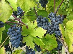 Norton Wine Grape Variety from the US is being trialled in NSW Grape Tree, Wine Varietals, Growing Grapes, Wine Making, Seed Oil, Wine Country, Good To Know, Wines, Fruit
