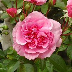 Peter Beales Roses Ltd - Retailers of climbing, rambling, shrub and standard Roses as well as companion plants and garden centre products