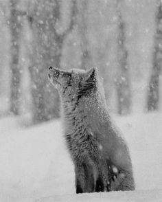"""""""red fox in snow"""" this is one of my favorite wildlife Animals baby Animals Beautiful Creatures, Animals Beautiful, Fox In Snow, Snow Wolf, Fuchs Baby, Photo Animaliere, Fox Pictures, Animals Photos, Tier Fotos"""