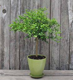 Outdoor Trees, Outdoor Plants, Outdoor Gardens, Citrus Trees, Fruit Trees, Citrus Fruits, True Lime, Conservatory Plants, Dwarf Trees