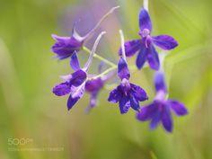 meadow flowers - sigma 60 2.8olympus macro converter mcon-p02