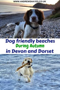Most beaches in Devon and Dorset allow your dogs to freely run on the beaches during October and April. Click the link for up to date details. Some also allow dogs during summer months. Dog Friendly Holidays, Running On The Beach, Pet Dogs, Pets, Summer Months, Dog Walking, Dog Friends, Devon, Beaches