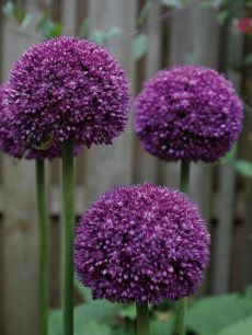 Allium Ambassador--An improved, more vigorous and larger form of Allium giganteum, it is has 7 globes comprised of tightly compacted, intense purple florets. Purple Garden, Love Garden, Shade Garden, Dream Garden, Garden Plants, Dark Purple Flowers, Beautiful Flowers, High Country Gardens, Design Floral