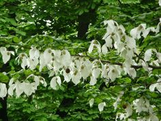 davidia involucrata lady sunshine - Google Search