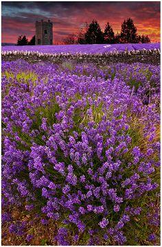 Lavender Light by Alan Coles