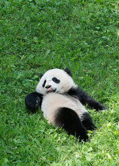 Bao Bao Aug. 8, 2014   Flickr - Photo Sharing! Nature Animals, Zoo Animals, Animals And Pets, Cute Animals, Animals Beautiful, Panda Love, Cute Panda, Panda Panda, Giant Pandas