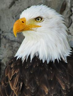 Great pictures of Adler - Eagle Images, Eagle Pictures, Great Pictures, Beautiful Birds, Animals Beautiful, Animals And Pets, Cute Animals, Eagle Wallpaper, Tier Fotos