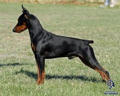 German Pinscher breed Photo