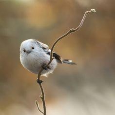 zeldzaam - Vogels (ijsvogel, koolmees, vink) - witkopstaartmees