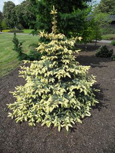 Picea pungens 'Jan Byczkowski'