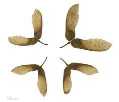 File:Acer griseum MHNT.BOT.2010.4.1.jpg