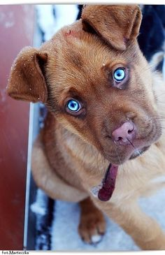 gorgeous blue eyes on brown pup Animals And Pets, Baby Animals, Funny Animals, Cute Animals, Beautiful Dogs, Animals Beautiful, Cute Puppies, Dogs And Puppies, Pet Dogs