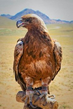 Hunting eagle in Mongolia. Hunting with eagles is a traditional form of falconry found throughout the Eurasian steppe. There are an estimated 250 eagle hunters in the Western Mongolian province. All Birds, Birds Of Prey, Love Birds, Beautiful Birds, Animals Beautiful, Mongolia, Rapace Diurne, Carnivore, Golden Eagle