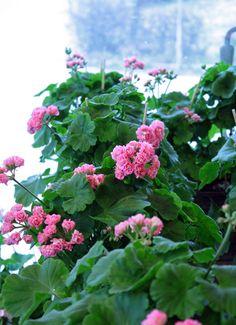 Rosenpelargon Pink Rambler, Geranium, http://holmsundsblommor.blogspot.se/2014/05/rosenpelargon-pink-rambler.html