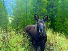 Moose sighting, Big Sky, MT