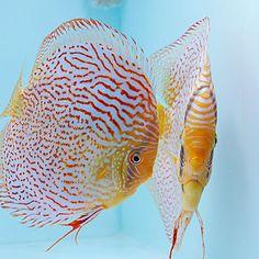 【europadiscuscenter】さんのInstagramをピンしています。 《Red Spotted Green Leopard Discus Pair #discus #diskus #diskusfische #aquarium #symphysodon #tropicalfish #discusfarm #discusfish #fish #discusbreeding  #fishfarm #fishtank #fishkeeper #freshwater #discushatchery #freshwaterfish #ディスカス #アクアリウム #魚 #水槽 #熱帯魚 #tropical #breeding #breedingfarm #cichlids #cichliden #cichlid #七彩神仙 #diskusfisch》