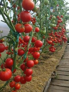 По Вашим многочисленным просьбам рассказываю об агротехнике выращивания томатов от опытной дачницы.